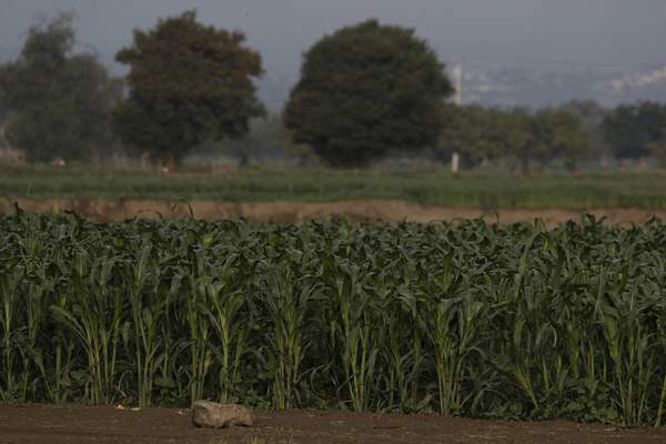 Corn grows around a water filled sinkhole in Zacatapec, on the outskirts of Puebla, Mexico, Wednesday, June 9, 2021. (AP Photo/Fernando Llano)