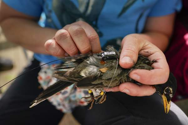Associated Press Avian ecologist Emily Williams fits an Argos satellite tag to an American robin like a backpackthis spring in Silver Spring, Md.