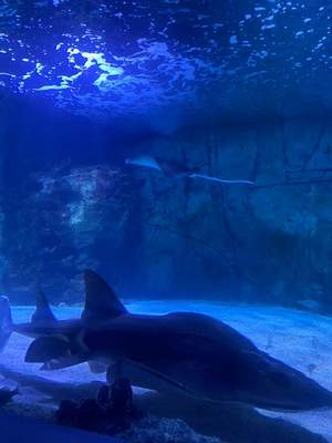 Lisa Green | The Journal Gazette  The Newport Aquarium in Newport, Kentucky - separated by a river from Cincinnati - includes sharks among its exhibits. Entrance in May required timed tickets with advance registration.
