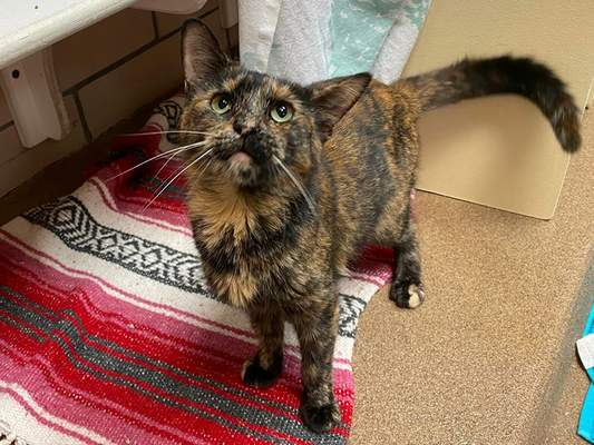 Fort Wayne Animal Care & Control Samoa is a 1-year-old spayed tortie domestic shorthair. Samoa came to the shelter from a house with many cats, so she is learning what it is like to have her own litter box, food, toys, etc. To meet Samoa, call the shelter at 427-5502.