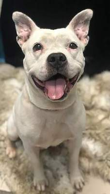 Humane Fort Wayne Merci is a 6-year-old spayed terrier/American pit bull mix who is available for foster to adopt. She needs to have a small lump removed in about a month. To meet Merci, call Humane Fort Wayne at 744-0454 to schedule an appointment.