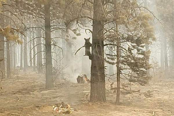 In this photo provided by the Bootleg Fire Incident Command, a bear cub clings to a tree after being spotted by a safety officer at the Bootleg Fire in southern Oregon, Sunday, July 18, 2021. (Bryan Daniels/Bootleg Fire Incident Command via AP)