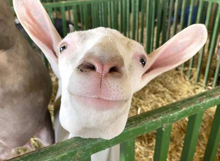 Michelle Davies | The Journal Gazette A goat takes interest in the camera Tuesday morning at the Allen County Fair. The fair runs daily through August 1st.