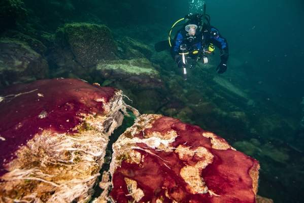 Associated Press In this photo provided by the NOAA Thunder Bay National Marine Sanctuary, a scuba diver observes the purple, white and green microbes covering rocks in Lake Huron's Middle Island Sinkhole.