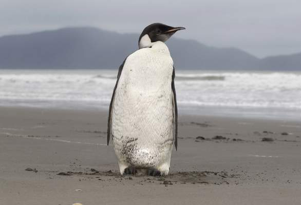 Associated Press  The U.S. Fish and Wildlife Service on Tuesday said it planned to list the emperor penguin  as threatened under the Endangered Species Act amid a report predicting 70% of colonies in danger by 2050.