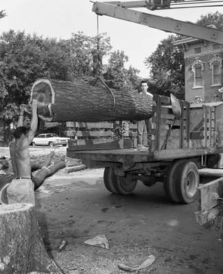 July 19, 1960: Pieces of diseased elm trees were hauled away to be burned.