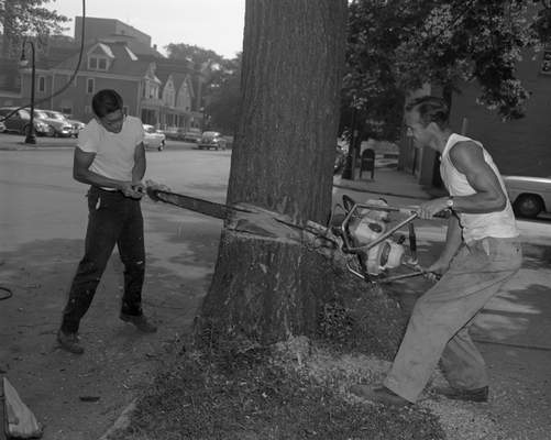July 19, 1960: Forestry workers cut a notch in an elm tree so they can better control where it will fall after ropes are attached to pull it down.