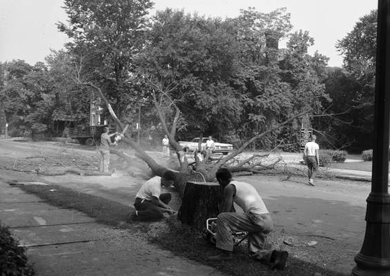 July 19, 1960: After the tree is felled, work begins to remove the stump so nothing is left for disease-carrying beetles.