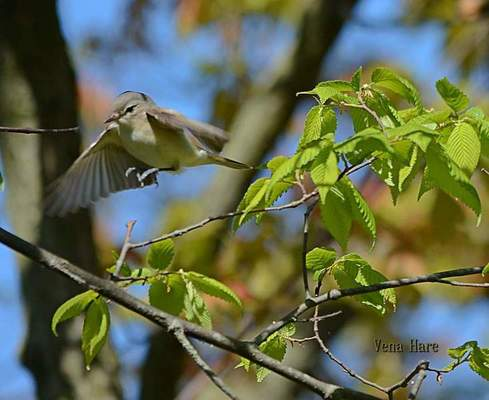 Courtesy photos Vena Hare spotted a Warbling Vireo while bird-watching May 13 at Fields Memorial Park, north of Geneva.