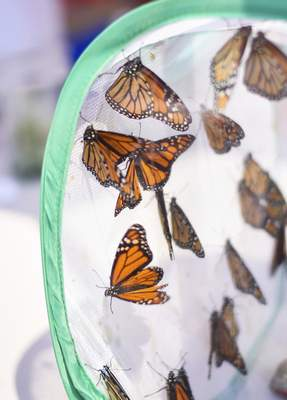 Katie Fyfe | The Journal Gazette  Monarch butterflies wait to be released during the Monarch Festival at Eagle Marsh on Sunday.