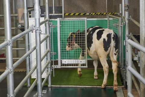 Toilet Training Cows In this undated photo provided by the Research Institute for Farm Animal Biology in Dummerstorf, Germany in September 2021, a calf enters an AstroTurf-covered pen nicknamed