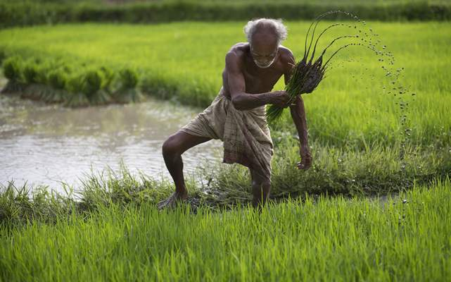 FILE - In this July 3, 2015 file photo, a farmer works in a rice paddy field at Reba Maheswar village, 35 miles east of Gauhati, India. (AP Photo/Anupam Nath, File)