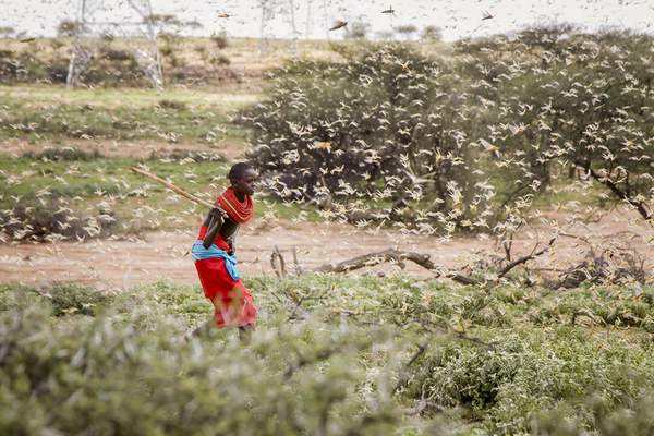 FILE - In this file photo taken Thursday, Jan. 16, 2020, a Samburu boy uses a wooden stick to try to swat a swarm of desert locusts filling the air, as he herds his camel near the village of Sissia, in Samburu county, Kenya. (AP Photo/Patrick Ngugi, File)