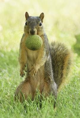 Katie Fyfe   The Journal Gazette A squirrel collects food Monday at Orchard Ridge Golf Course.