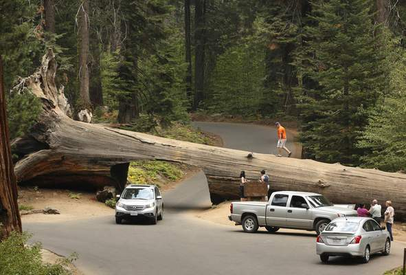 FILE - In this Sept. 11, 2015, file photo, visitors explore the Tunnel Log, a passage cut through a giant Sequoia tree that fell in 1937, at Sequoia National Park, near Visalia, Calif. (AP Photo/Rich Pedroncelli, File)