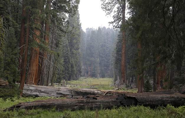 FILE - In this Sept. 11, 2015, file photo, giant Sequoia trees are seen in a meadow in the at Sequoia National Park near Visalia, Calif. (AP Photo/Rich Pedroncelli, File)