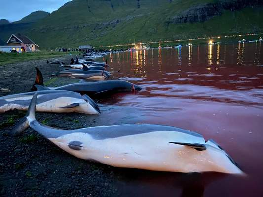 In this image released by Sea Shepherd Conservation Society the carcasses of dead white-sided dolphins lay on a beach after being pulled from the blood-stained water on the island of Eysturoy which is part of the Faeroe Islands Sunday Sept. 12, 2021. (Sea Shepherd via AP)