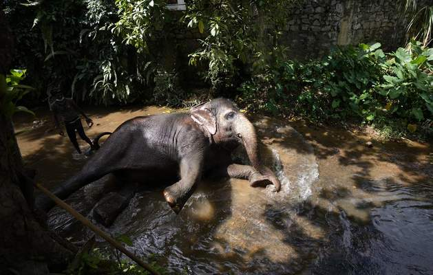 An elephant Suddi who was recently released from government custody following a court order, reclines in a waterway to cool off in Pannipitiya, a suburb of Colombo, Sri Lanka, Sunday, Sept. 12, 2021. (AP Photo/Eranga Jayawardena)