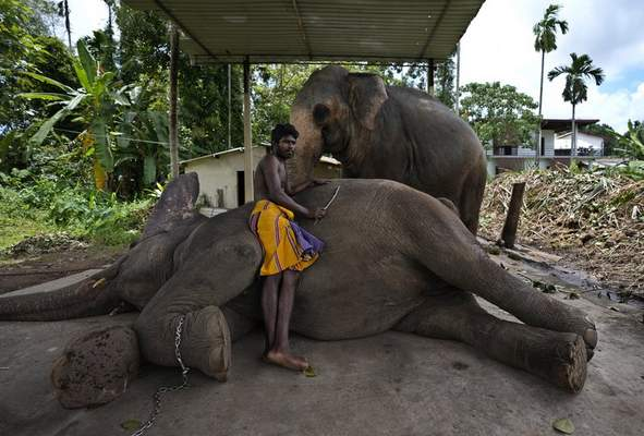 Sri Lankan mahout Nishanth relaxes with a tame elephant Suddi, who was recently released from government custody following a court order, in Pannipitiya, a suburb of Colombo, Sri Lanka, Sunday, Sept. 12, 2021. (AP Photo/Eranga Jayawardena)