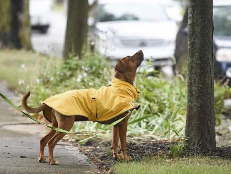 Michelle Davies | The Journal Gazette June Carter, a 3-year-old rescue owned by Angela Custer of Fort Wayne, stops to keep her eye on a squirrel Wednesday morning while walking along Berry Street.