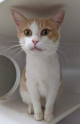 Humane Fort Wayne Oswald Cobblepot is a neutered 5-year-old domestic shorthair mix who has not been declawed. He is FIV and FeLV positive, meaning he will need to be the only cat in the home. For more information, go to www.humanefw.org.
