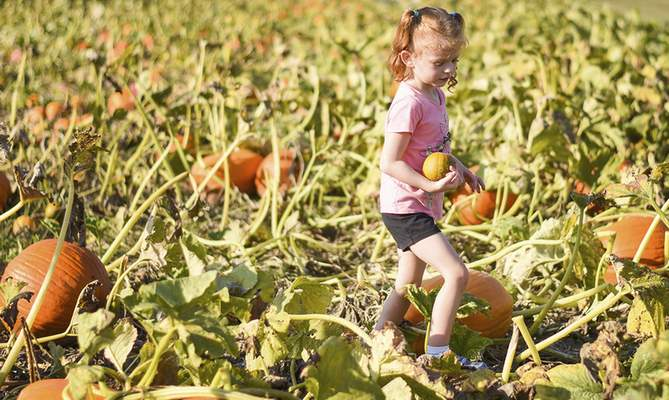 Katie Fyfe | The Journal Gazette  Ellie Wisner, 4 years old, picks pumpkins from the U-pick pumpkin patch at Advance Tree Technology in New Haven on Monday.