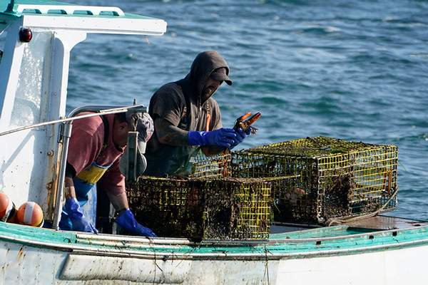 Associated Press A sternman, right, checks a lobster while fishing  Sept. 21 off South Portland, Maine, amidst a multiyear industry boom.
