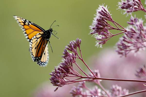 Associated Press Monarch butterflies are among well known species that illustrate insect problems and declines, according to studies by an international team of scientists released this week.